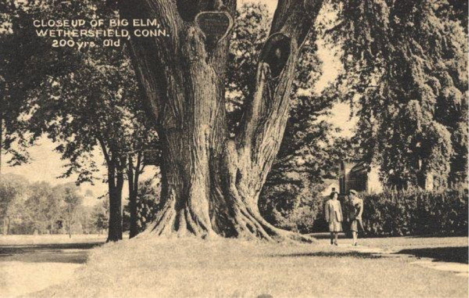 Wethersfield Great Elm
