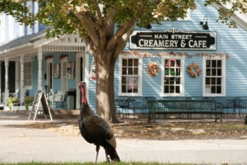 Kevin the Turkey in front of Main st. Creamery, photo by - Brienne Tripp